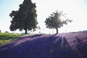 Ein Bett im Lavendelfeld
