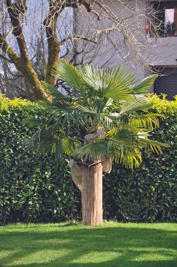 Palmen in der Schweiz