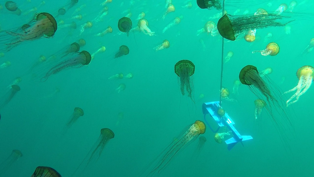 Jellyfish surround a BioSonics tow body during hydroacoustic survey