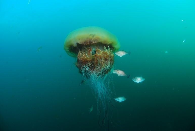 Giant Jellyfish, (Nemopilema nomurai)