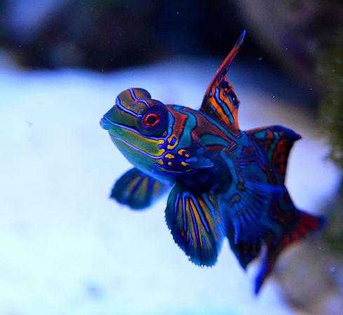 mandarin-reef-fish-saltwater-aquarium.jp