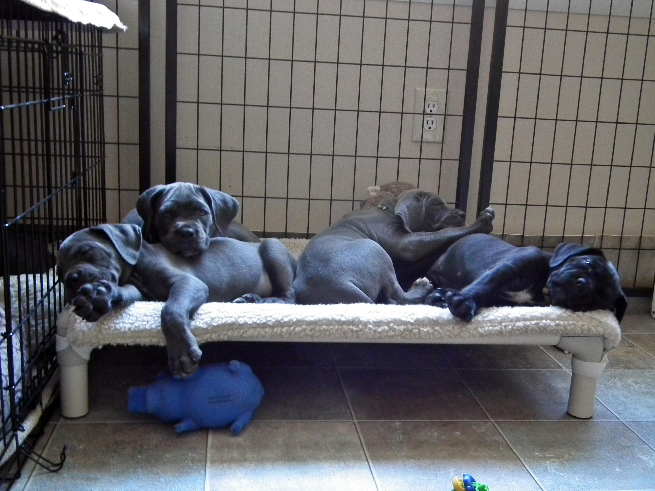 Cane Corso puppy pile