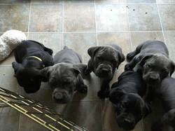 Puppies manding