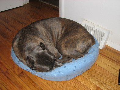 Big dog in little bed