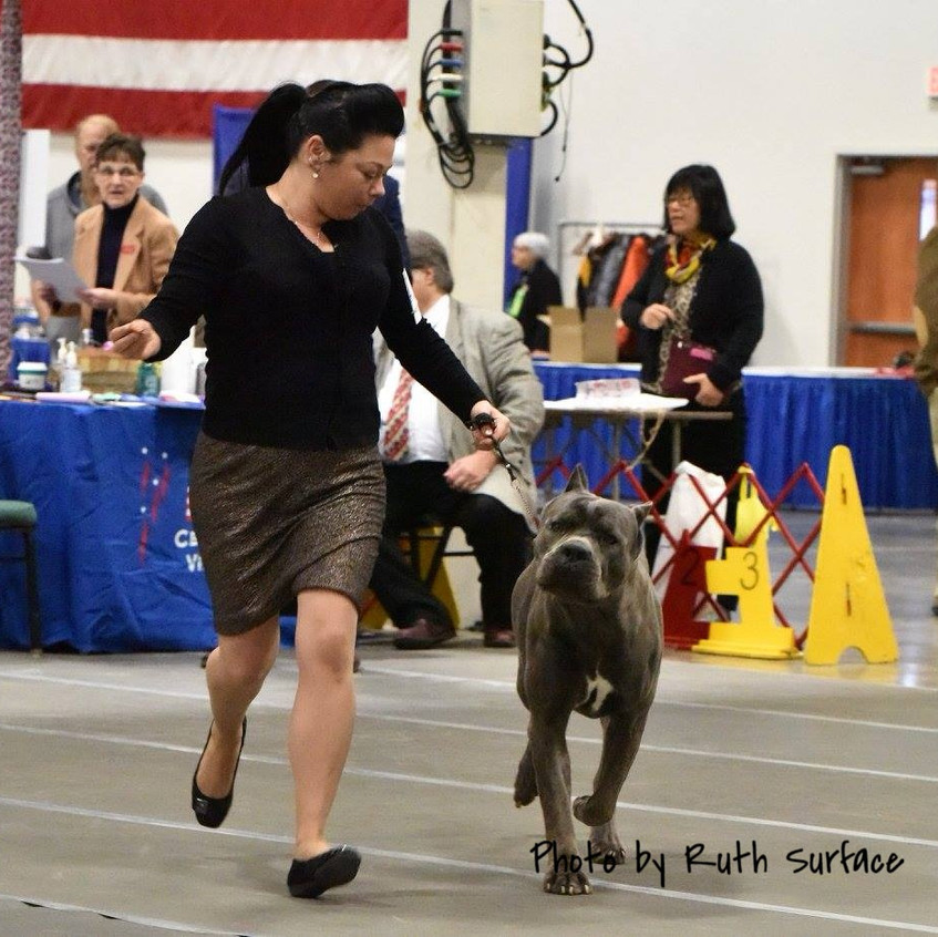 Thorin handled by Cassie Williams.  Cane Corso male.