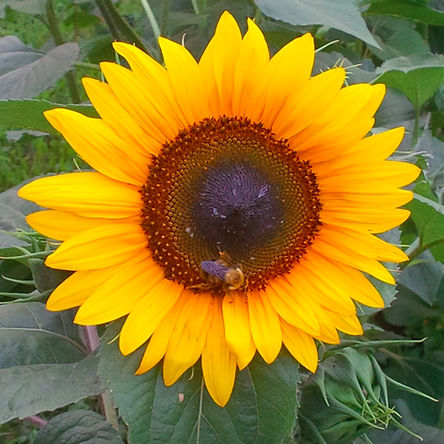 sunflower bee_edited.jpg