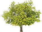 isolated-tree-on-white-background-pictur