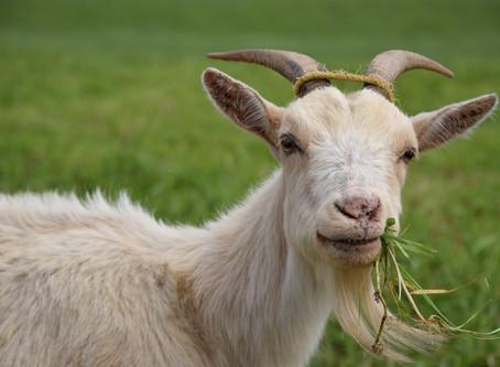 The Benefits of Raw Goat Milk
