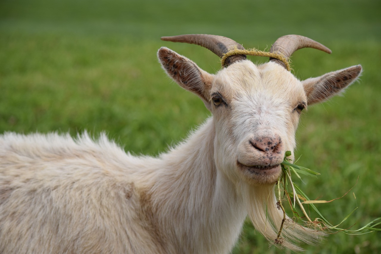 The Benefits of Raw Goat Milk