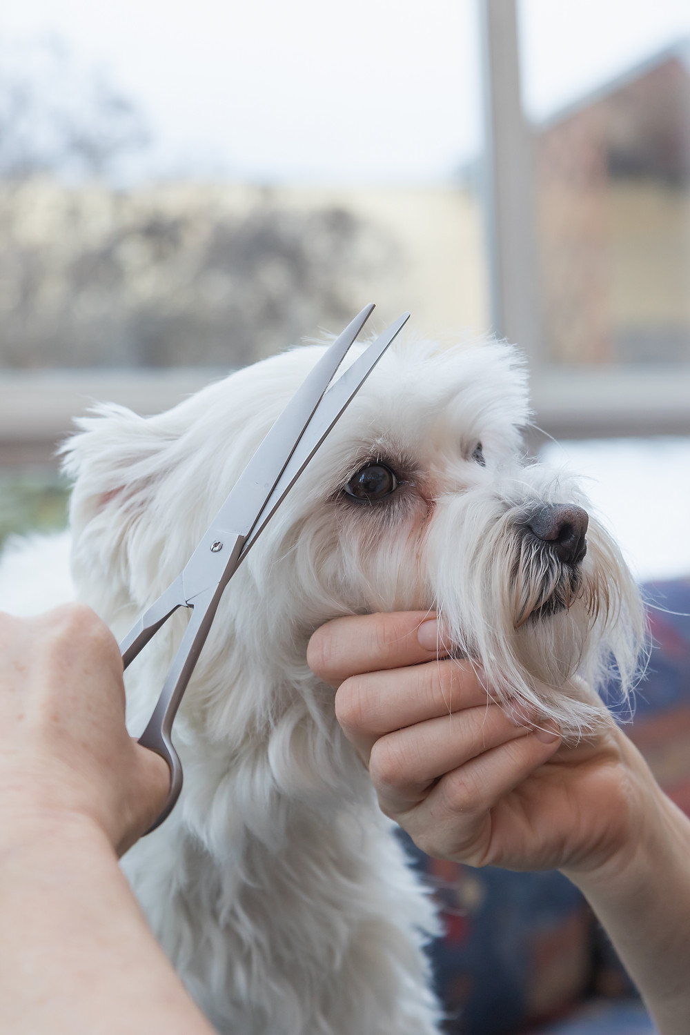 Adult dog getting professionally groomed