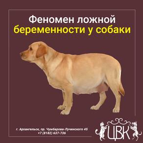 Феномен ложной беременности у собаки