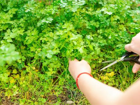 Beginner Tips For Harvesting Herbs