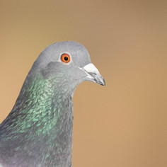 """Pigeon in profile"" (Apr 2020)"