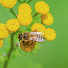 """""""Pollen-pincher"""" (Aug 2020)"""