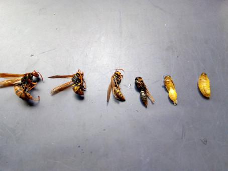 6月14日埼玉県越谷市のアシナガバチを駆除しました。