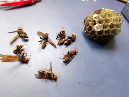 6月14日茨城県牛久市でアシナガバチを駆除しました。