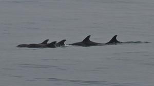 Golfinhos raros são flagrados dormindo em alto mar no litoral de São Paulo