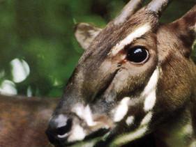 Vietnã cria reserva natural para proteger 40 espécies ameaçadas, incluindo o Saola.