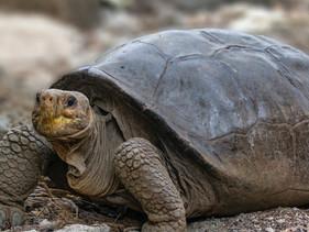 Equador confirma que tartaruga gigante encontrada em Galápagos é de espécie considerada extinta