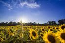 Cientistas estão desenvolvendo girassóis artificiais que podem ser usados como painéis solares