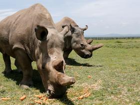 Cientistas conseguiram com sucesso criar embriões de rinoceronte branco do norte, espécie quase exti