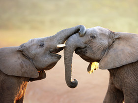 Governo da Dinamarca comprou os últimos 4 elefantes de circo para que eles possam se aposentar