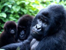 Ameaçada de extinção, a população de gorilas-da-montanha aumentou significativamente graças aos esfo