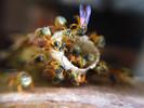 Embrapa e A.B.E.L.H.A. oferecem curso online gratuito de criação de abelhas sem ferrão