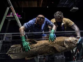 Espécie rara de peixe que se originou há 420 milhões de anos é encontrada em Madagascar