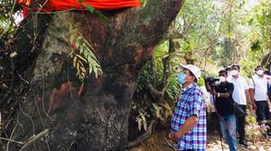 Governo de Sri Lanka decide salvar a última árvore de uma espécie extinta