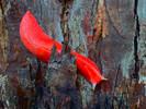 Lesmas cor de rosa gigantes ameaçadas de extinção são encontradas vivas após incêndios na Austrália