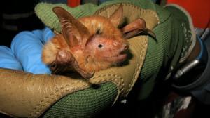 Cientistas descobrem nova espécie de morcego laranja no Oeste da África