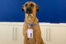 """Cão é adotado por concessionária, ganha crachá e vira """"cãosultor"""""""
