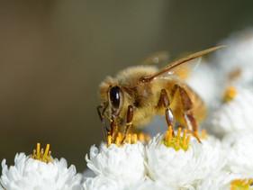 Cientistas finlandeses criam vacina para abelhas que irá protegê-las de doenças mortais