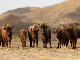 Bisontes são reintroduzidos em território europeu quase um século após serem caçados até a extinção