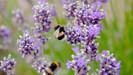 O estado de Minnesota vai pagar moradores para que plantem flores que atraem abelhas em seus gramado