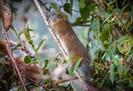 Rara espécie de roedor de bambu reaparece em Machu Picchu depois de 10 anos