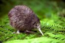 Kiwis serão reintroduzidos na capital da Nova Zelândia pela primeira vez no século