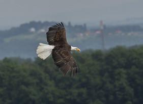 Águias-rabalvas, dadas como extintas, são vistas na Inglaterra pela 1ª vez em 240 anos