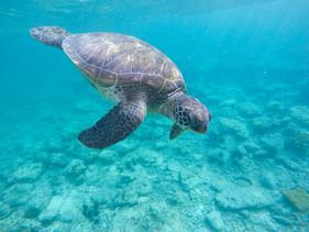 Número recorde de tartarugas-oliva ameaçadas de extinção nasceram em praia no México