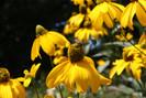 No Reino Unido,raras espécies de flores silvestres e populações de abelhas ameaçadas estão se recup