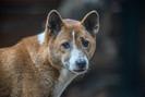 Considerado extinto na natureza, cão cantor da Nova Guiné é encontrado na Indonésia após 50 anos