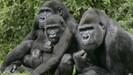 A população da espécie criticamente ameaçada de gorilas-das-montanhas da África agora ultrapassa 1.0