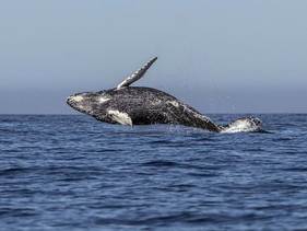 Descoberta nova espécie de baleia no Golfo do México