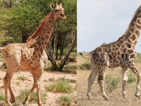 Girafas anãs são registradas pela primeira vez na natureza