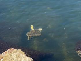 Tartarugas são vistas nadando em água cristalina da Baía de Guanabara no RJ