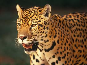 Cresce em 70% o número de onças-pintadas desde 2010 no Parque Nacional do Iguaçu