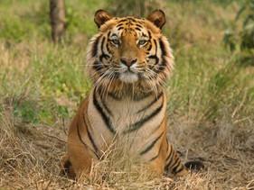 Casal indiano há 20 anos compra terras perto de uma reserva de tigres para aumentar a área da região