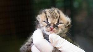 Em risco de extinção, filhote de gato-maracajá nasce em Foz do Iguaçu