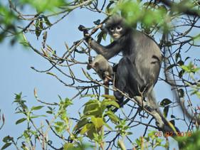 Nova espécie de primata descoberta em Mianmar já existe há pelo menos 1 milhão de anos